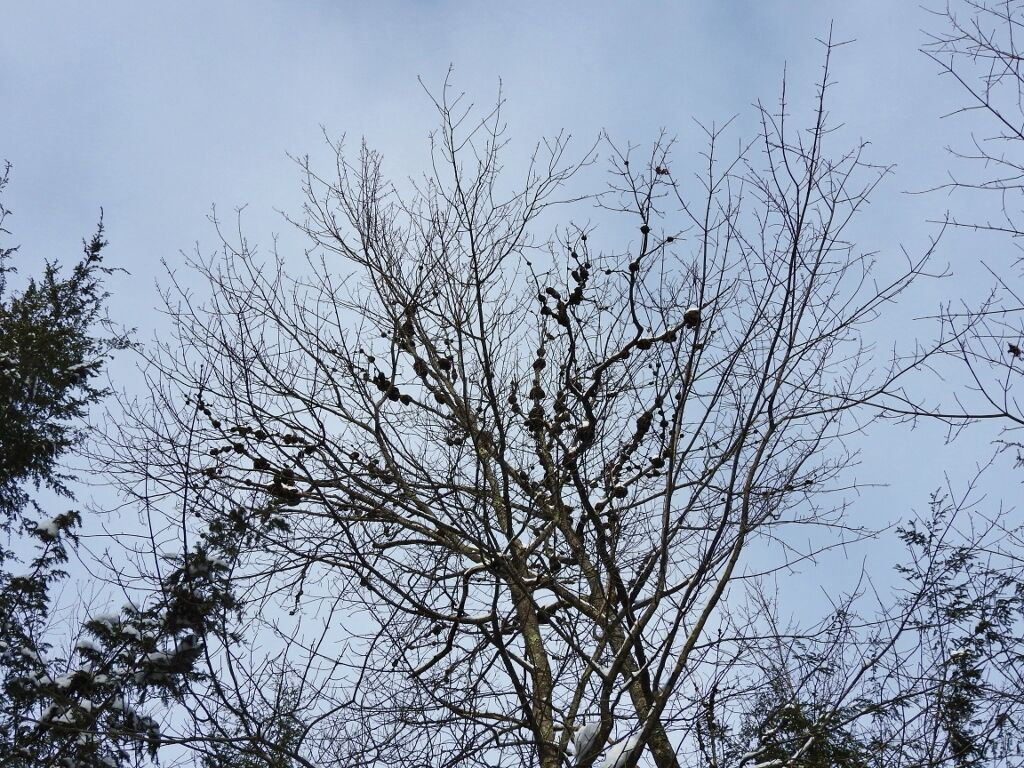 Red oak with rounded galls