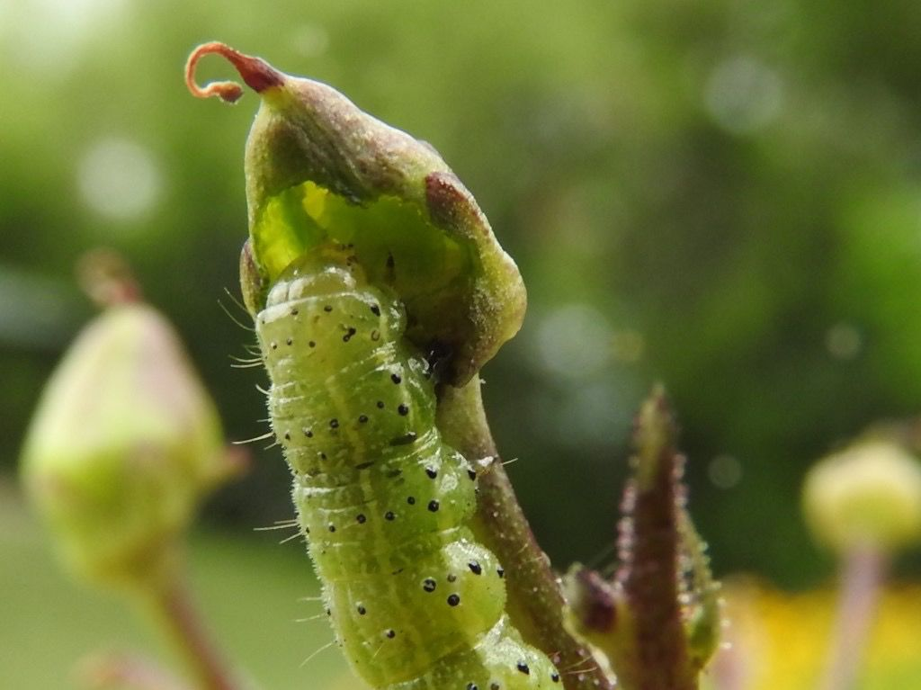 7-12-19 moth larva on figwort.jpg