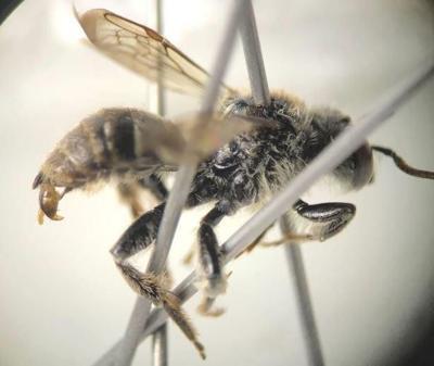 Rare Epeoloides pilosulus bee (AKA cuckoo bee)