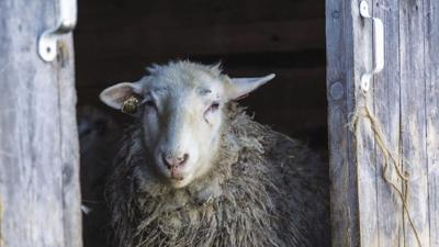 Down on the Farm: wooly sheep