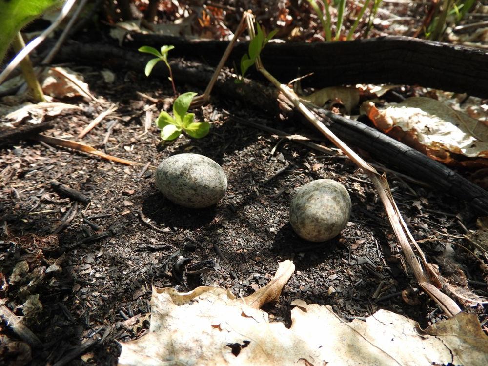 Common nighthawk eggs