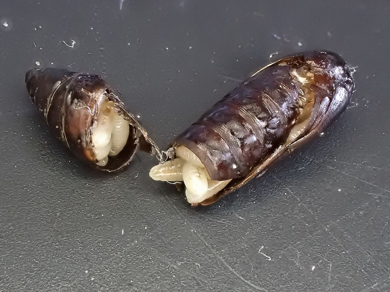 gall moth puparium