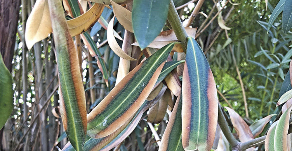 Oleander Leaves Browning