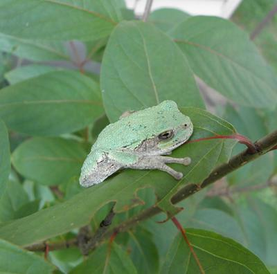 Tree frog on button bush