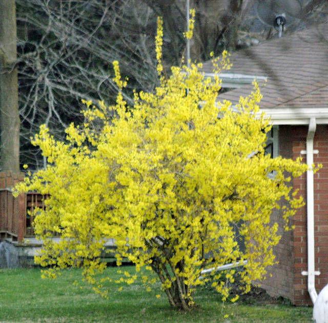 FINUCANE: Longtime garden favorite forsythia offers many options