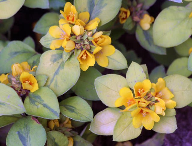 FINUCANE: There's more than one type of loosestrife