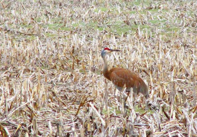 Stalking Elusive Sandhill Crane From >> Stalking A Meal Local News Argus Press Com