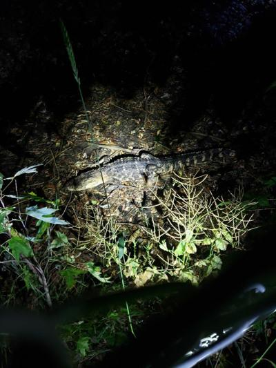 Alligator escapes from owners, caught by police