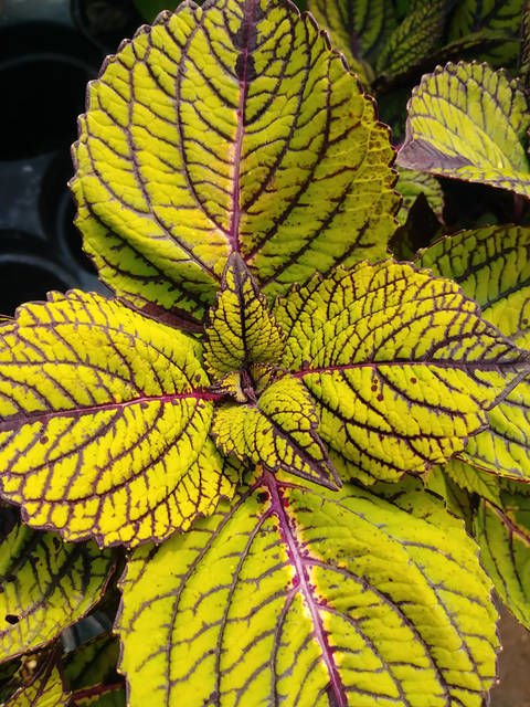 Coleus likely has a variety perfect for your garden