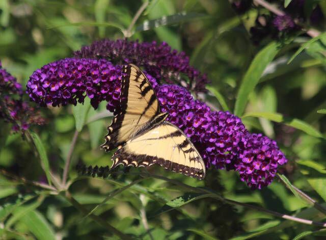 FINUCANE: Varieties of butterfly bush will enliven garden