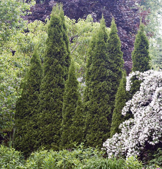 FINUCANE: Evergreen trees deserve place in yard