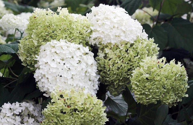 FINUCANE: Garden centers offer a bounty of hydrangea varieties