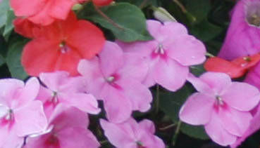 New breeds have impatiens recovering from serious blight