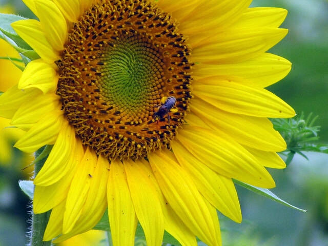 Sunflowers at DeVries