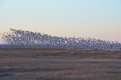 Harney County Migratory Bird Festival goes virtual this year