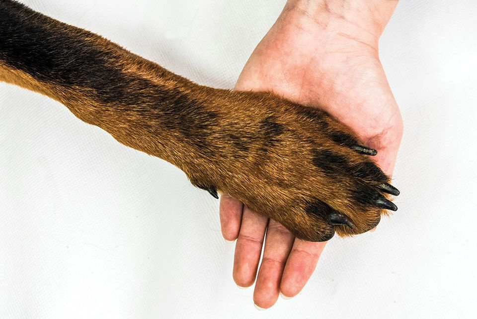 Summer heat can bring sore paws for dogs as sidewalks can reach temps high enough to seriously burn them