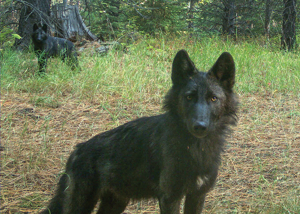 2 juvenile wolves in northern Wallowa County