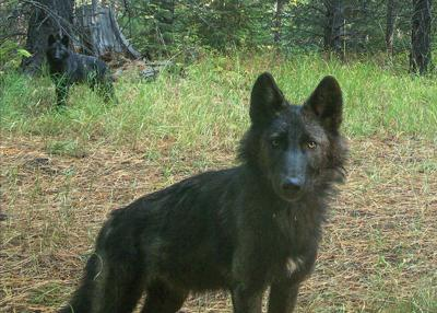 ODFW employees kill 2 wolf pups from Lookout Mountain pack