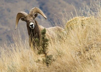 Pneumonia outbreak crosses I-84, spreads to new Baker County bighorn sheep herd