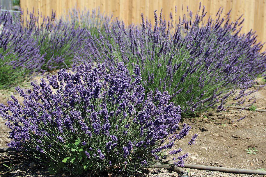Lavender festival blooms: Saturday event is the first of its kind in the Western Treasure Valley
