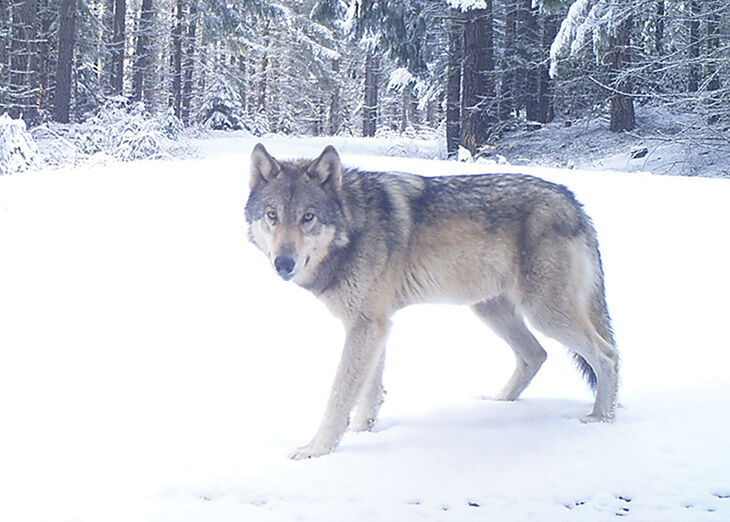 Gray Wolf in Willamette National Forest