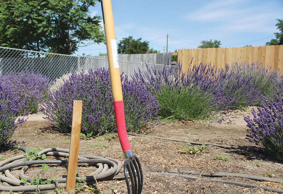Locals farmers offer lavender fest