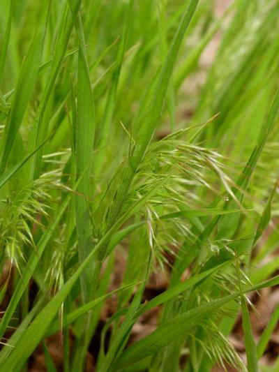 Bacteria looks to be promising in cheatgrass battle