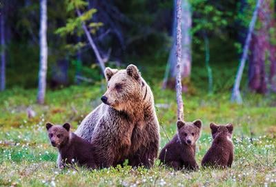 Bill aims to delist grizzly bears as endangered