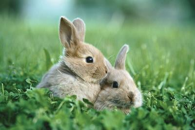 Deadly virus confirmed in the feral rabbit population near Portland