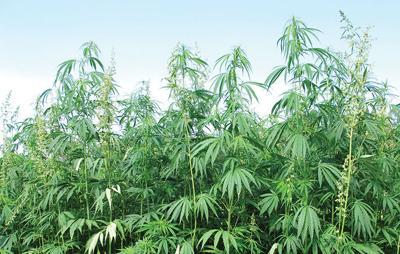 Senators propose law so 'farmers can grow hemp'