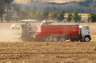 Harvest time: Ag workers bring in the onions