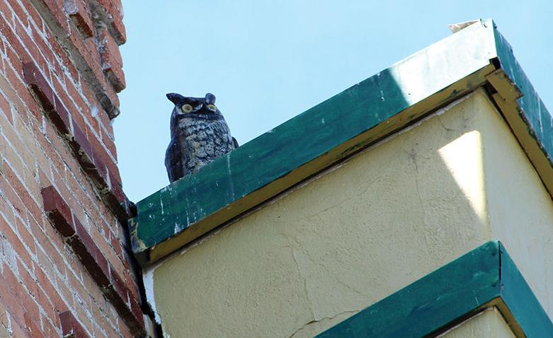 Problematic pigeons: Councilors discuss myriad measures to deal with issue downtown
