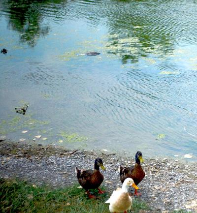 Wildlife officials remove dead ducks from local pond