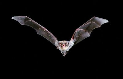 Payette County resident seeks health care after exposure to rabid bat