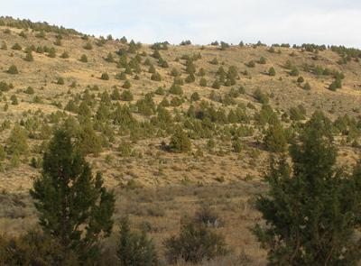 Tree removal could spread invasive grasses