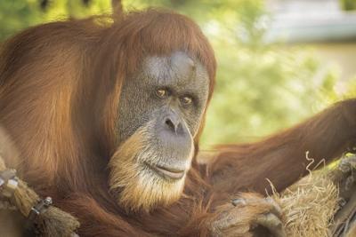 Oregon Zoo mourns loss of Inji, world's oldest orangutan