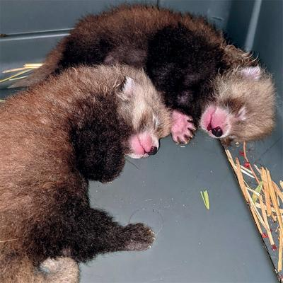 Twin red pandas born at Zoo Boise
