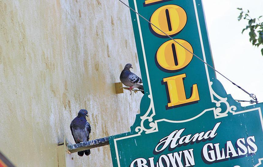 Pigeons roost despite decoys