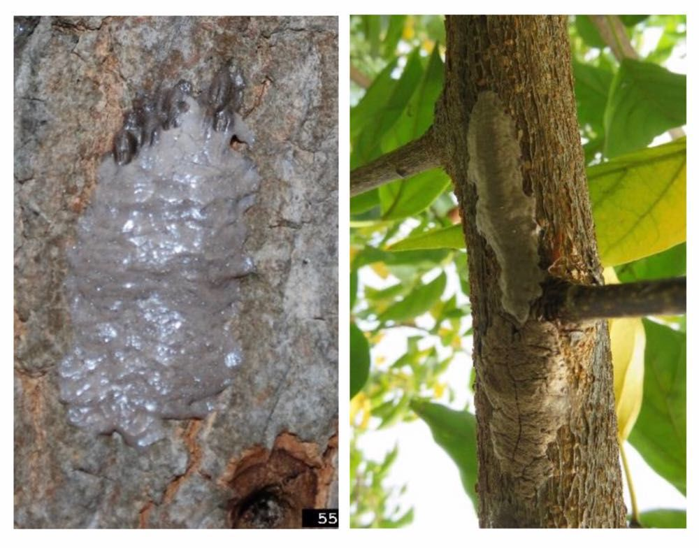 Laternfly egg mats