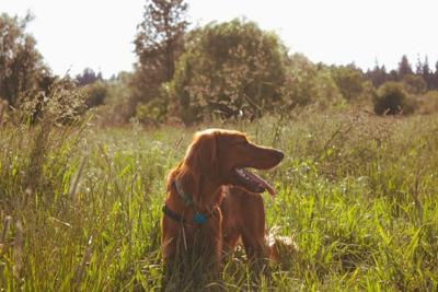 Ticks can hitch a ride on pets moving through tall grass.
