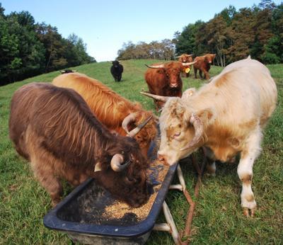 Ashe County Scottish Highland Cattle