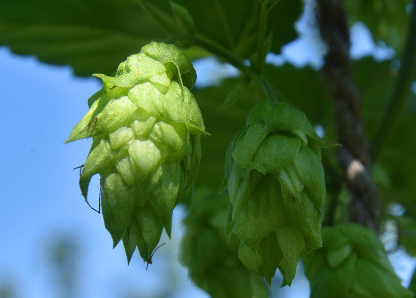 Hops 2