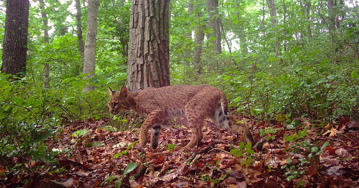 Trapping opponents cheer decision to hold off on bobcat season in Ohio
