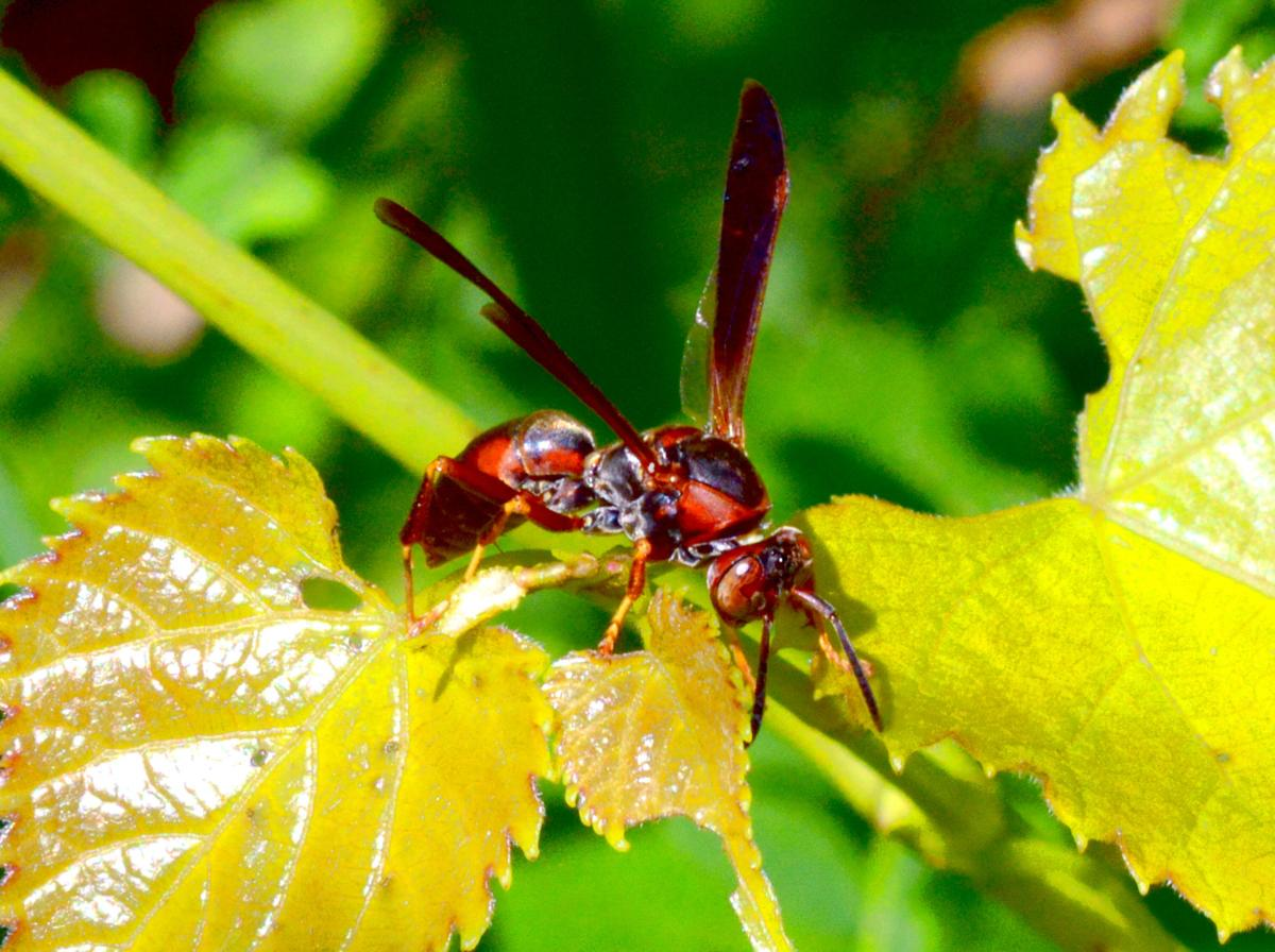northern paper wasp - powell