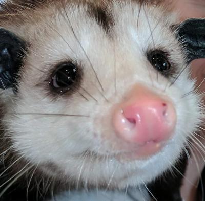 Athens Police investigate apparent torture of wild opossum