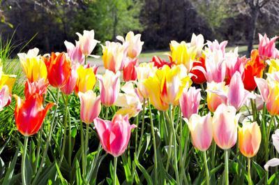 4-8 Tulips.jpg