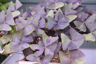 Purple Shamrock Is A Very Versatile Plant Local News