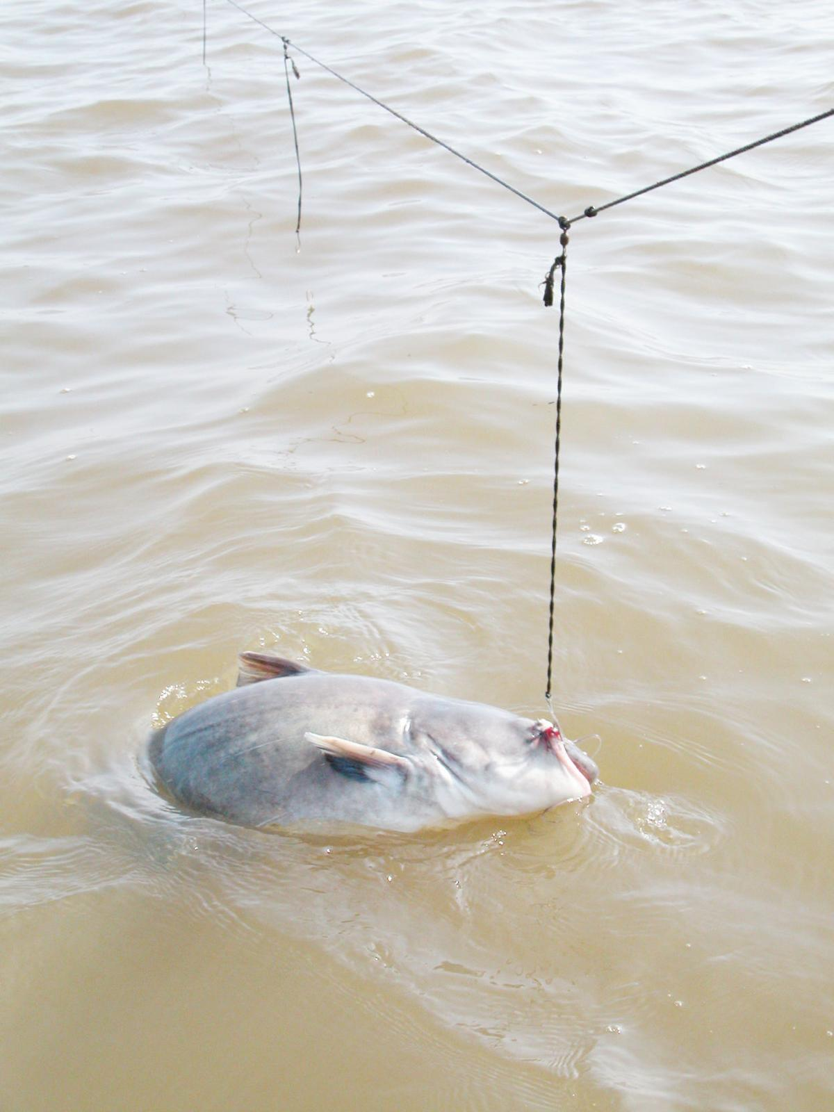 Catfish on hook