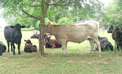 3-26 Cattle story.jpg