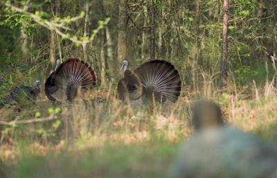 Shooting at gobblers